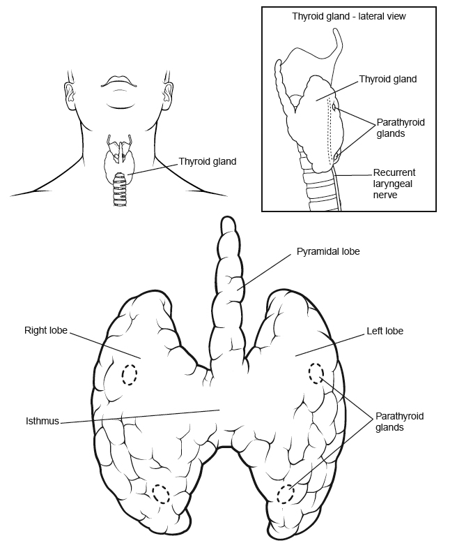 ANATOMY OF THYROID GLAND - ENLARGED THYROIDFor General Public
